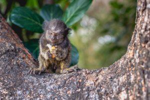 Geladinho em Goiás: macaco da fauna do Cerrado